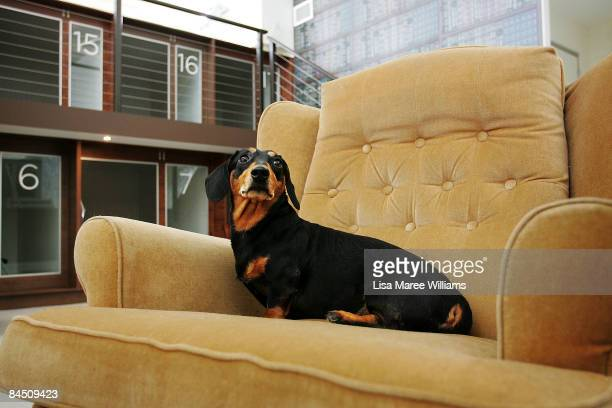 Dog sits on a couch at PawPaws Urban Retreat in the library suite, a newly opened hotel for dogs, at Waterloo on January 27, 2009 in Sydney,...