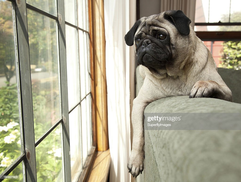 Dog sits on couch and looks longingly outside : Stock Photo
