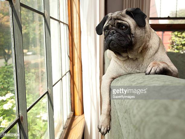 Dog sits on couch and looks longingly outside