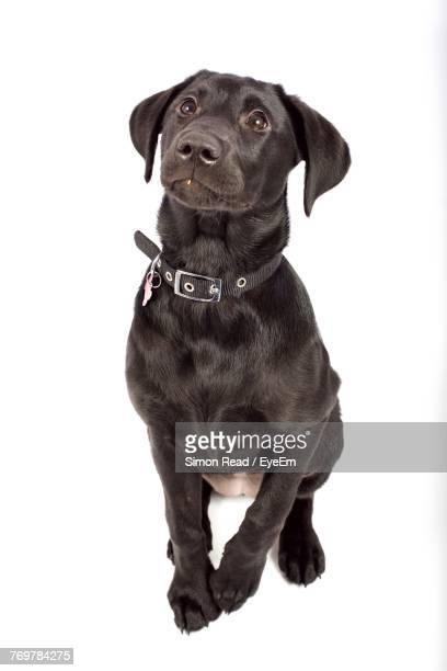 dog sitting against white background - collar stock pictures, royalty-free photos & images
