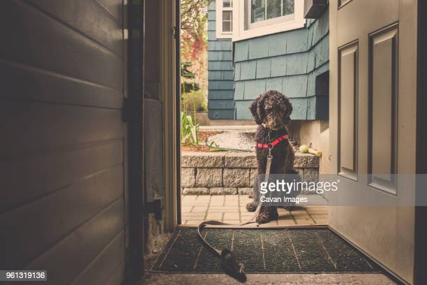 dog sitting at doorway - pet leash stock pictures, royalty-free photos & images