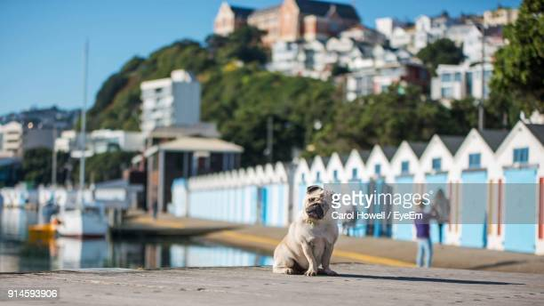 dog sitting at harbor in city - wellington new zealand stock pictures, royalty-free photos & images