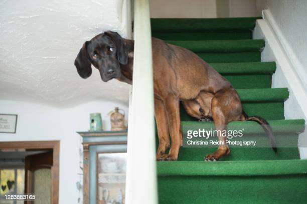 dog sitting awkwardly on stairs - christina grosse stock-fotos und bilder