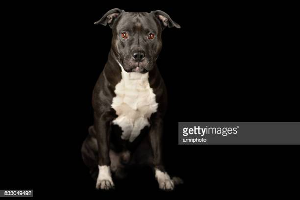 dog sitting black white - american staffordshire terrier stock photos and pictures