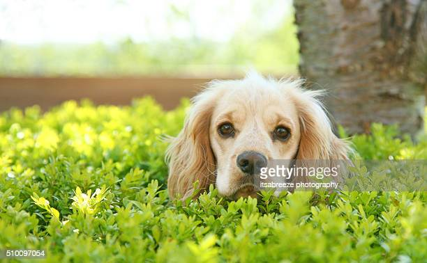 dog sitting in a box hedge