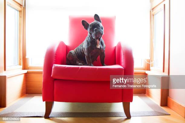 Dog sitting in a red armchair looking at camera