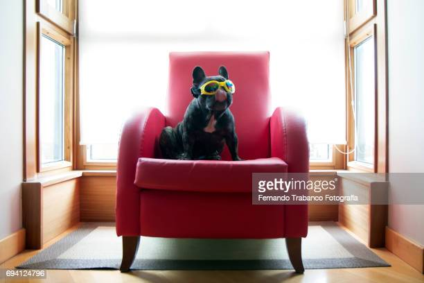 Dog sitting in a red armchair with yellow sunglasses and tongue out