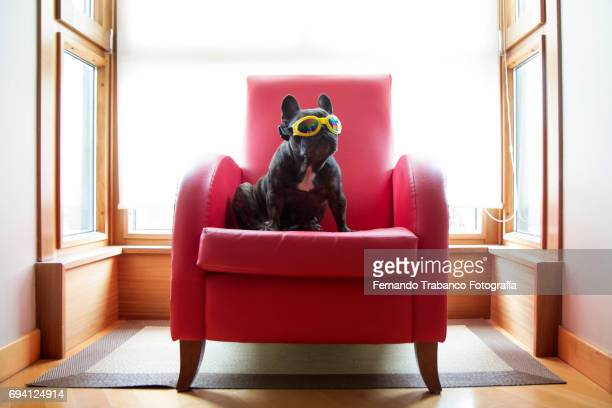 Dog sitting in a red armchair with yellow sunglasses