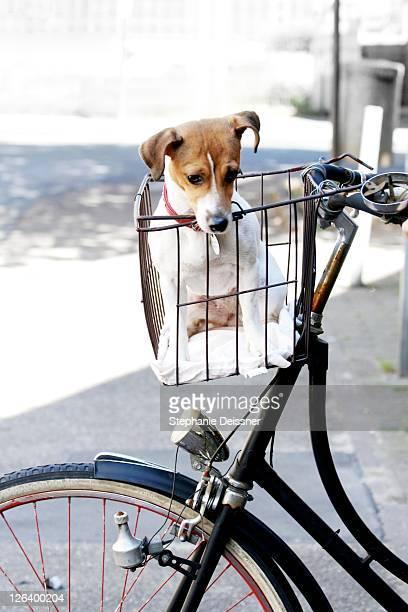 Dog sitting in bicycle's basket