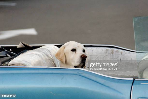 dog sitting in car - gerhard schimpf stock pictures, royalty-free photos & images