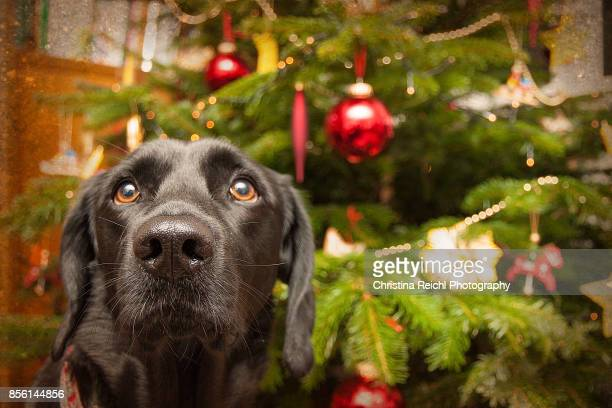 Dog sitting in front of christmas tree