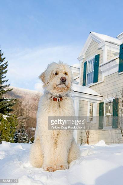Dog Sitting in front of snowy house