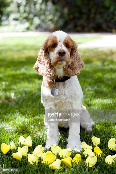 dog sitting in grass with easter peeps - animal representation stock pictures, royalty-free photos & images