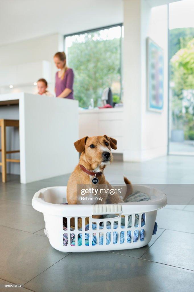 Dog sitting in laundry basket in kitchen : Stock Photo
