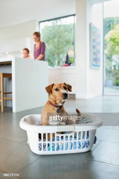 Dog sitting in laundry basket in kitchen