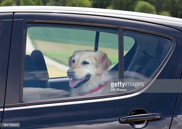 dog sitting in the back seat of a black car - heat stock pictures, royalty-free photos & images