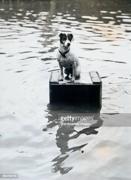 Dog sitting on a wooden box, which saved his life during the floods. Photogaphy, around 1930. [Ein Hund hat sich waehrend einer ueberschwemmung auf...