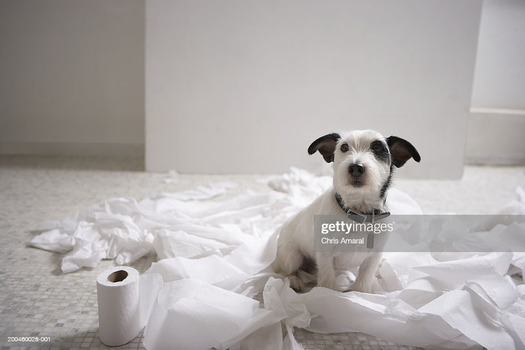 Dog sitting on bathroom floor amongst shredded lavatory paper : Stock Photo