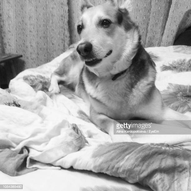 Dog Sitting On Bed At Home