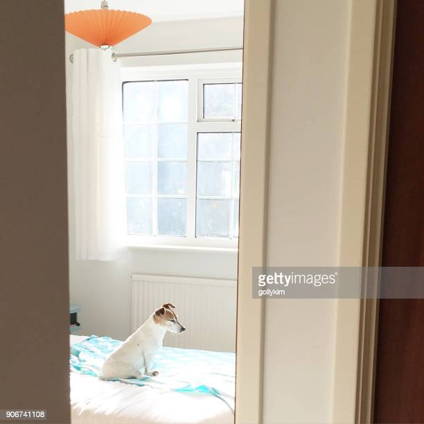 Dog sitting on bed in a bedroom enjoying sunshine from the window, England