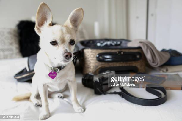 dog sitting on bed near suitcase - canine stock pictures, royalty-free photos & images