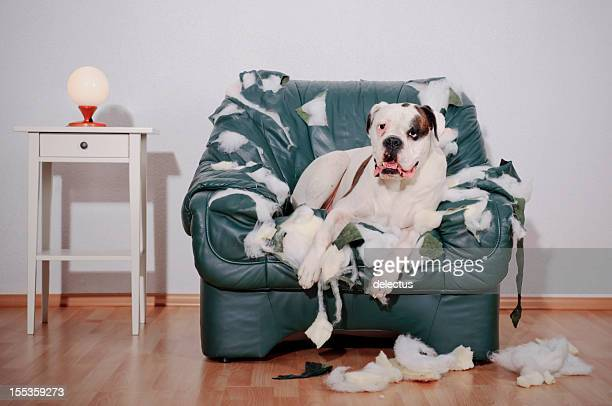 dog sitting on chewed up leather chair - vernieling stockfoto's en -beelden