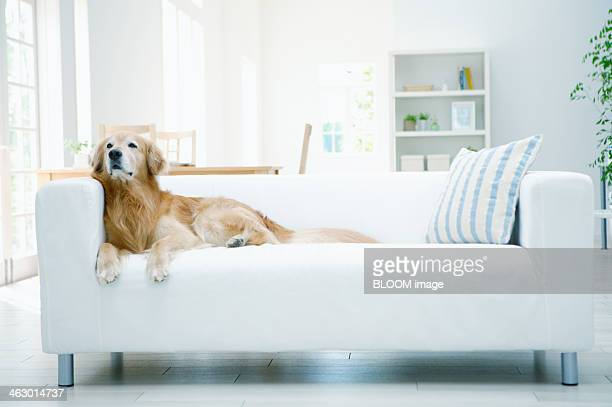 dog sitting on couch - tidy room stock pictures, royalty-free photos & images