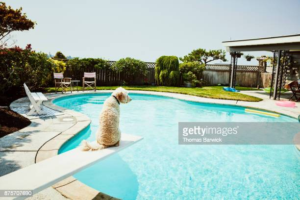 Dog sitting on diving board of backyard pool looking out