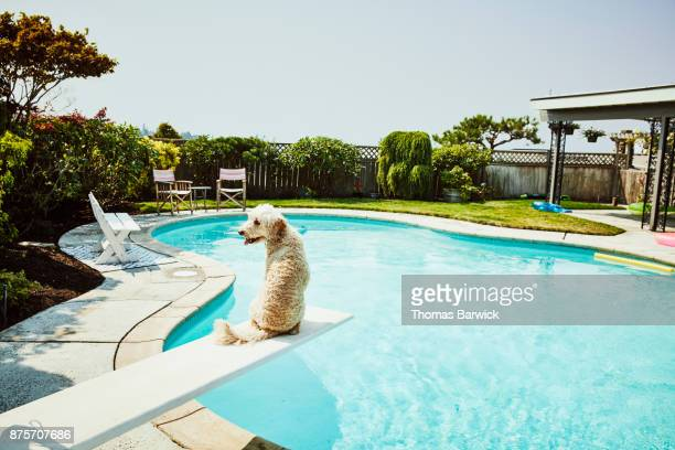 Dog sitting on diving board of backyard pool looking over shoulder