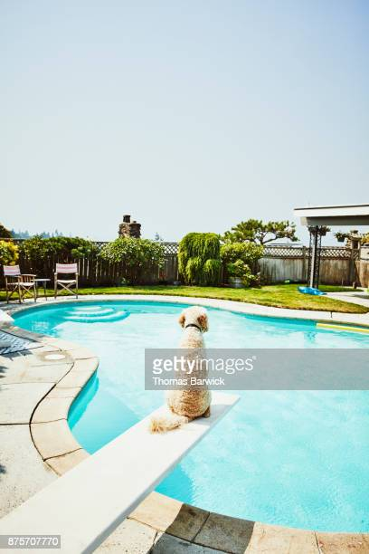 Dog sitting on diving board of backyard pool rear view