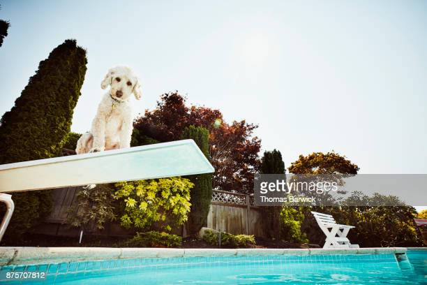 Dog sitting on end of diving board at backyard pool looking down