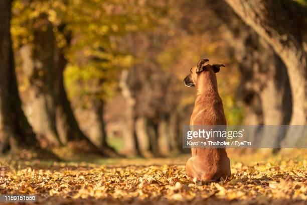 dog sitting on footpath in forest - berger belge malinois photos et images de collection