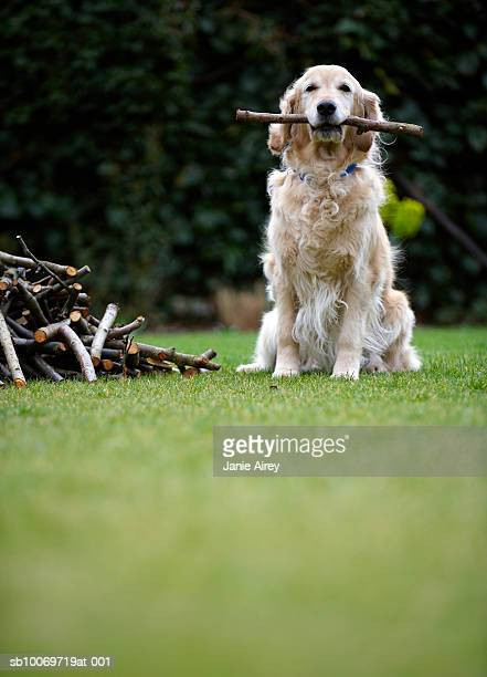 Dog sitting on grass holding stick in mouth (selective focus)