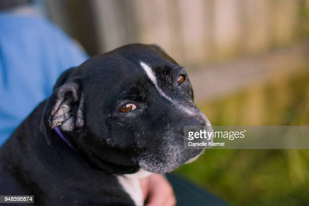 dog sitting on man's lap - staffordshire bull terrier stock pictures, royalty-free photos & images