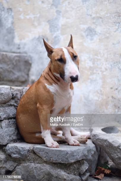 dog sitting on rock against wall - bull terrier stock pictures, royalty-free photos & images