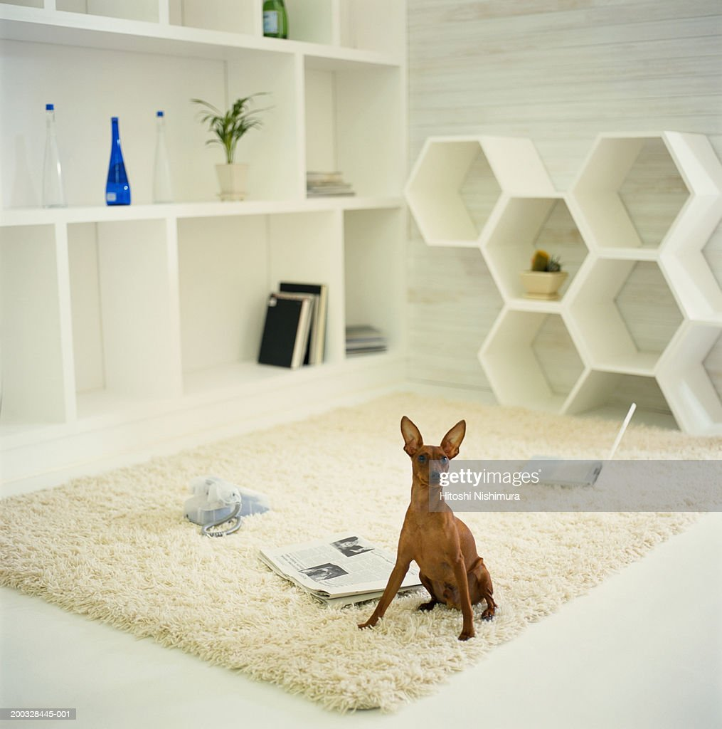 Dog Sitting On Rug In Living Room Stock-Foto - Getty Images