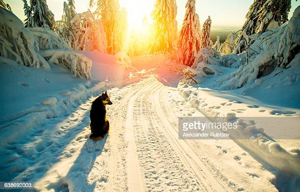 Dog sitting on snowy road, sunset, Russia