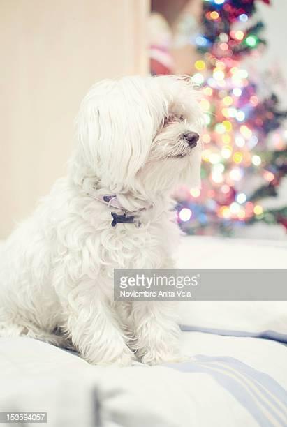 dog sitting on sofa - alcazar de san juan - fotografias e filmes do acervo