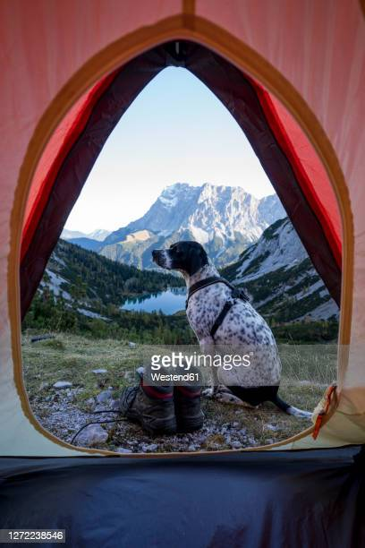 dog sitting outside pitched tent with tent seebensee in background - tent stock pictures, royalty-free photos & images