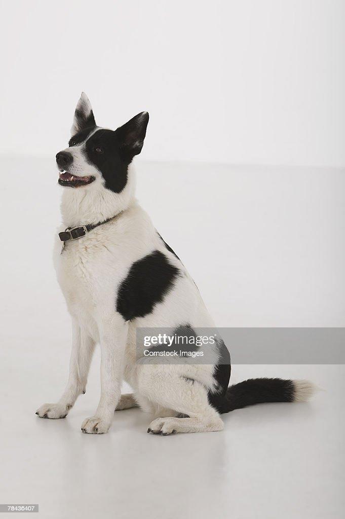 Dog sitting : Stockfoto