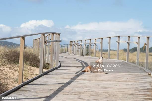 dog sitting wooden walkways. ecotourism in beach of lanzada ( o grove - spain) - grove fotografías e imágenes de stock