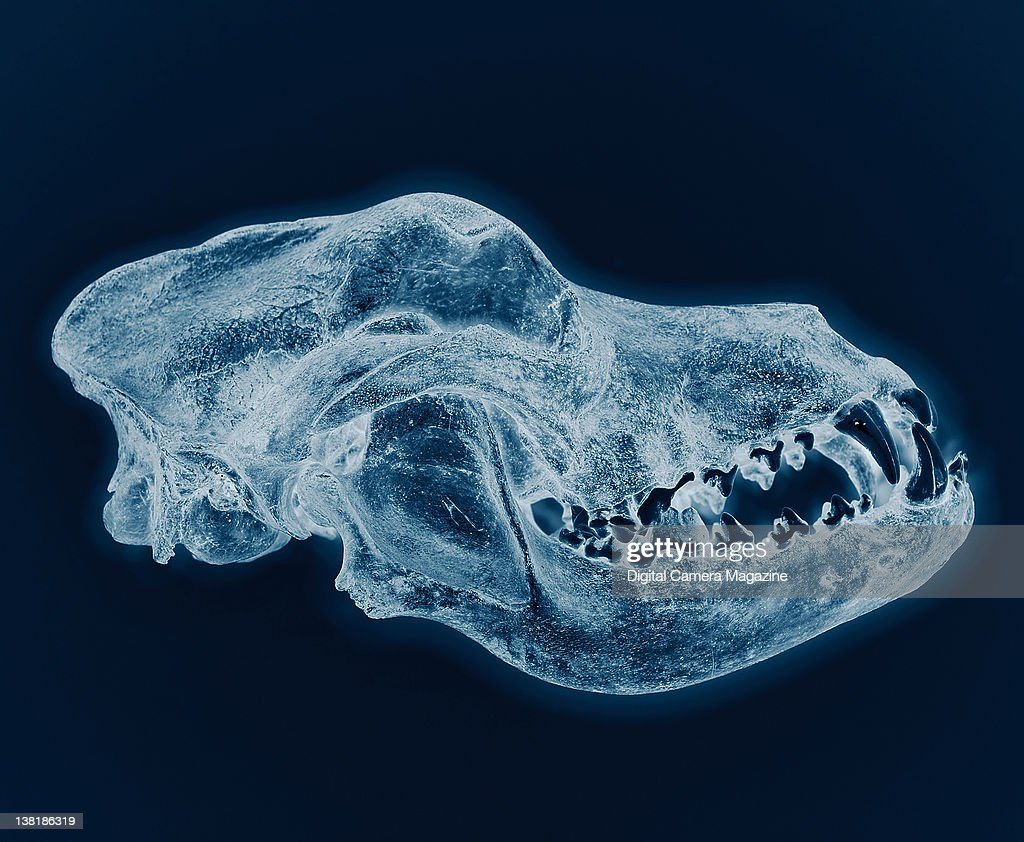 a dog skull highlighted with an x ray effect session for digital