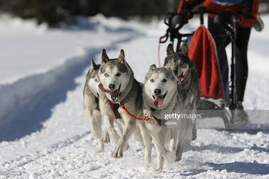 Dog sled competition : Stock Photo