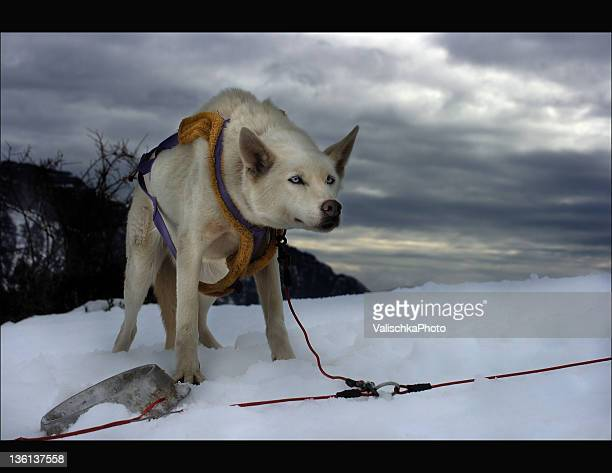 Dog sled drag in snow