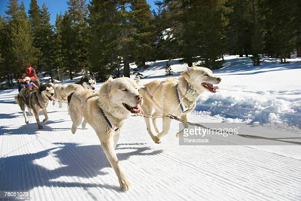 dog sled - dogsledding stock photos and pictures