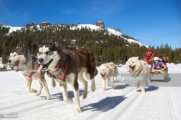 dog sled - dog sledding stock photos and pictures