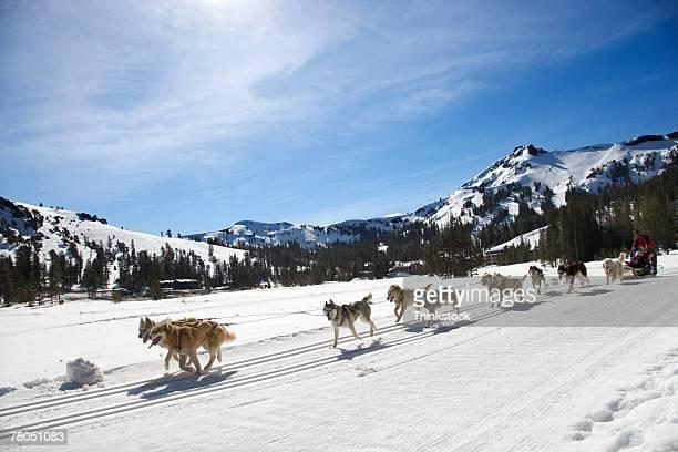 dog sled - dog sledding stock photos and pictures