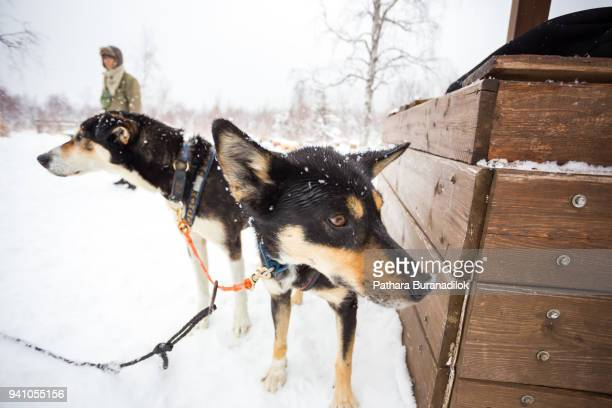 dog sled - working animal stock pictures, royalty-free photos & images