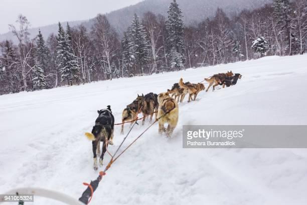 dog sled - dog sledding stock-fotos und bilder