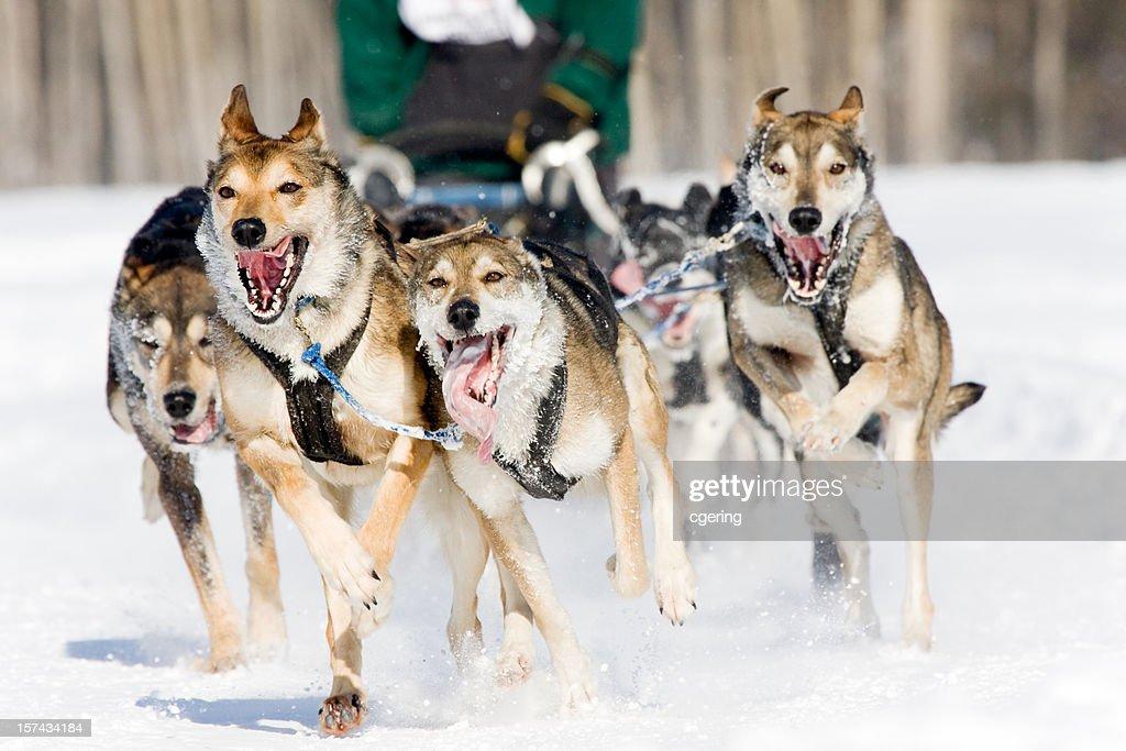 dog sled racing : Stock Photo